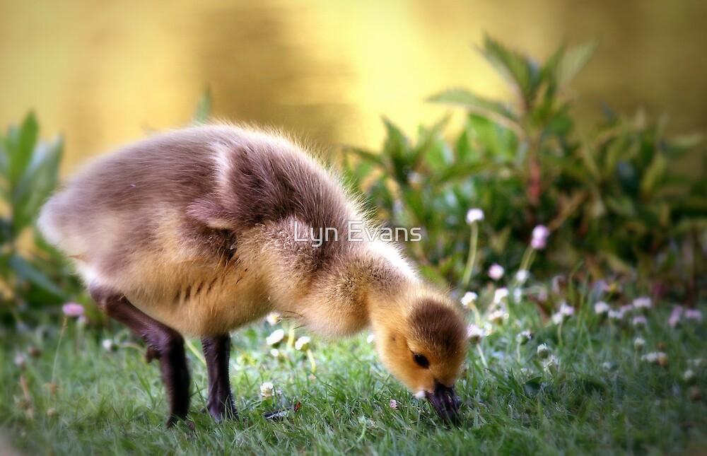 Golden gosling by Lyn Evans
