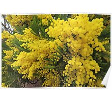 Golden Wattle - Floral Emblem of Australia Poster