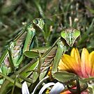 Mating Mantises ! by robkal