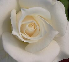 White Rose by Dorothy DuMond Cohen