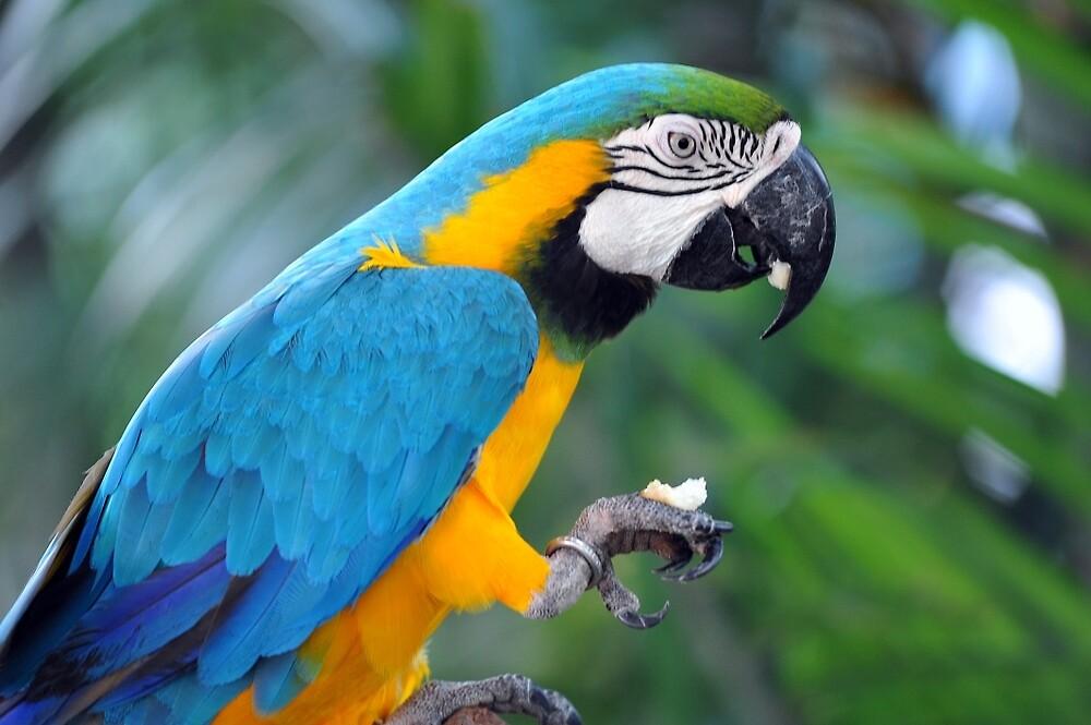 Blue & Yellow Macaw, Singapore. by Ralph de Zilva