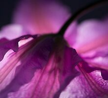Hazy Purple Clamatis by Dorothy DuMond Cohen