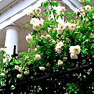 Noisette Roses, First Baptist Church by Benjamin Padgett