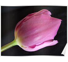 Tantalizing Tulip Poster