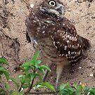 Burrowing Owl  #12 by Virginia N. Fred