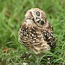 Burrowing Owl #13 by Virginia N. Fred