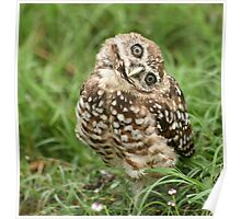 Burrowing Owl #13 Poster