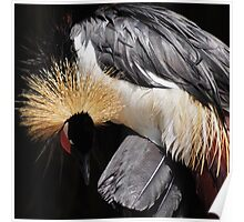 Crowned crane (square crop) Poster