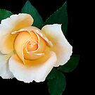 Buttercup Rose by Magee