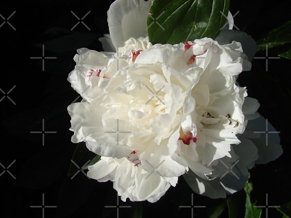 A White Peony by Diane Petker