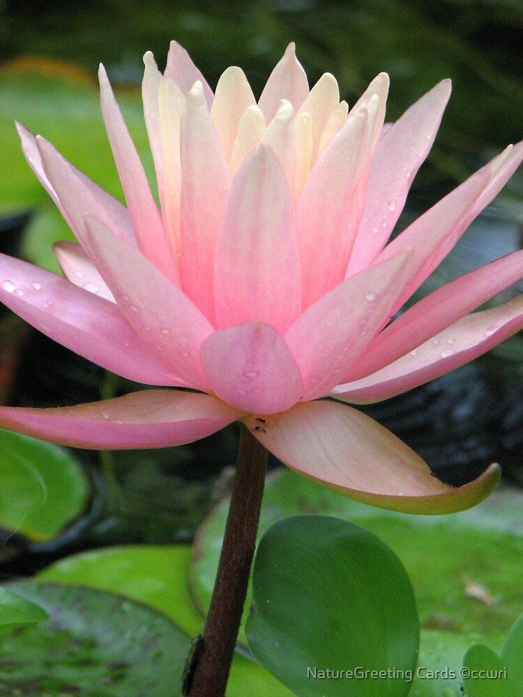 Pink Water Lily by NatureGreeting Cards ©ccwri