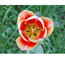 The tulip... Photographic Print