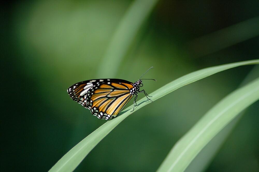 monarch by mc27