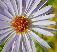 Fall Aster by Melzo318
