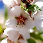 Spring Almond Blossoms by travellingtwo