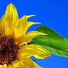 French Sunflower by travellingtwo