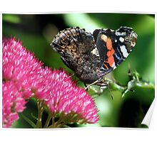 A Red Admiral Poster