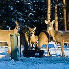 Deer at the Well by Bryan D. Spellman