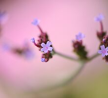 Verbena in Violet by Jacky Parker