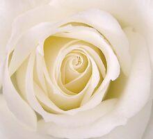 'Ani's Rose' by Annie Finn