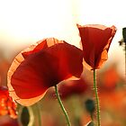 Poppy Petals by Martins Blumbergs
