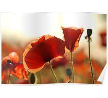 Poppy Petals Poster