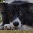 Ranger - My Border Collie by Chris Clark