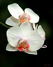 Orchid Tongues by Mary Campbell
