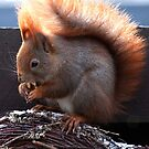 A hungry squirrel by imagic
