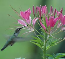 Hummingbird by Michelle Jarvie