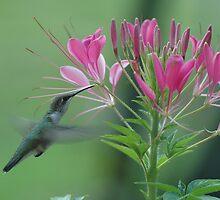 Hummingbird by Michelle Jarvie