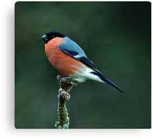 Male Bullfinch Canvas Print