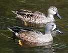 Blue Winged Teal by Dennis Cheeseman