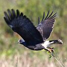 Snail Kite by Dennis Cheeseman