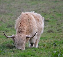 Highland Cow by franceslewis