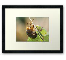 Plump Spider Framed Print