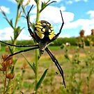 Golden Orb-Weaver- Argiope aurantia by Chuck Gardner