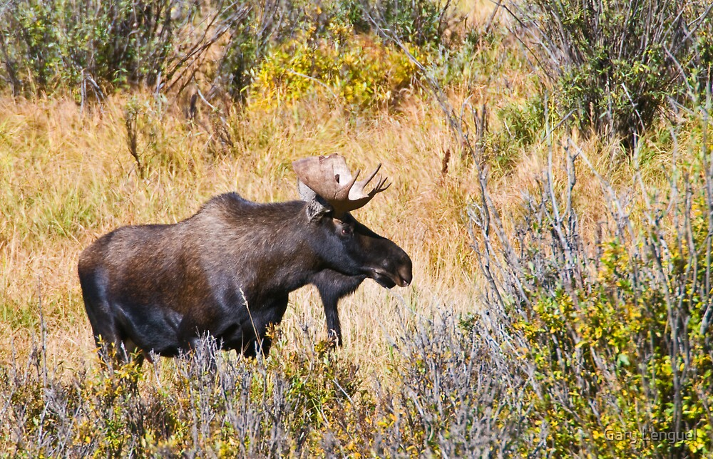 The Moose Is Loose by Gary Lengyel