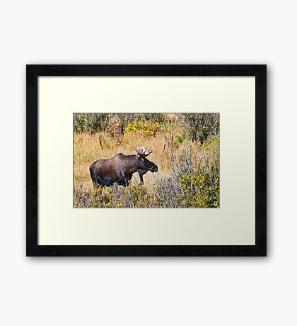 The Moose Is Loose Framed Print