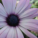Purple Osteopermum by Diane Petker