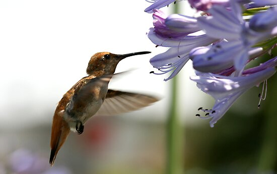 Happy Hummer by DARRIN ALDRIDGE