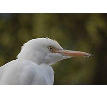 Cattle egret Photographic Print