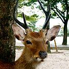 Deer - Hiroshima by geikomaiko