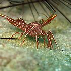 Dancing Shrimp and they do Dance by Christopher Hamilton Lansell