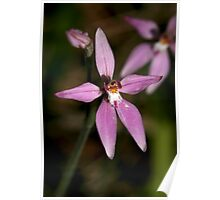Pink Fairies Orchid - Mt Barker Summit Poster