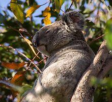 Koala Bear by franceslewis
