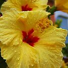 Hibisk in rain by loiteke
