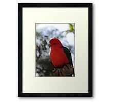 Male Australian King Parrot Framed Print