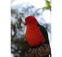 Male Australian King Parrot Photographic Print