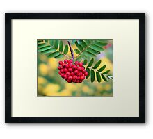 Mountain Ash Berries Framed Print